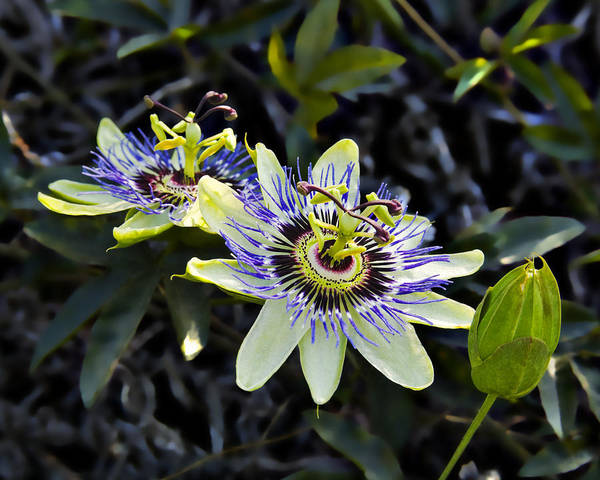 Flowers Poster featuring the photograph Blue Passion Flower by Kelley King