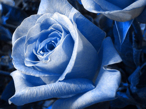 Blue Poster featuring the photograph Blue Rose by Shelley Jones