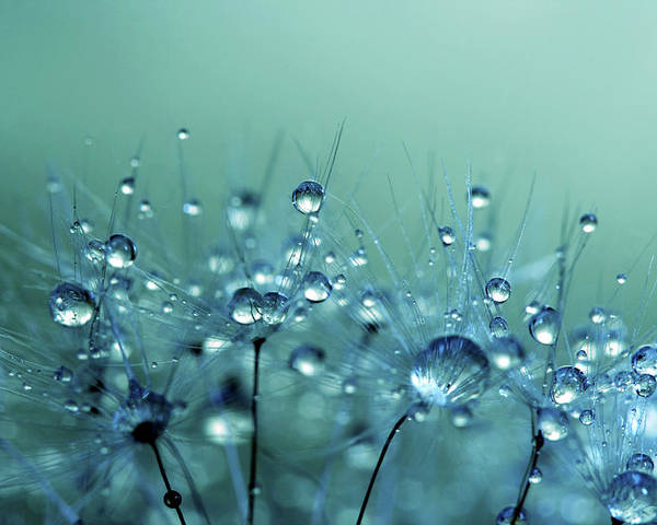Dandelion Poster featuring the photograph Blue Shower by Sharon Johnstone