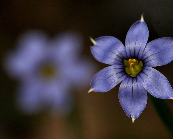 Macro Poster featuring the photograph Blue Sixpetal by Don Ziegler