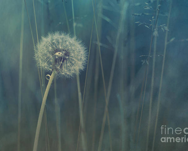 Blowball Poster featuring the photograph Blue Tinted by Priska Wettstein
