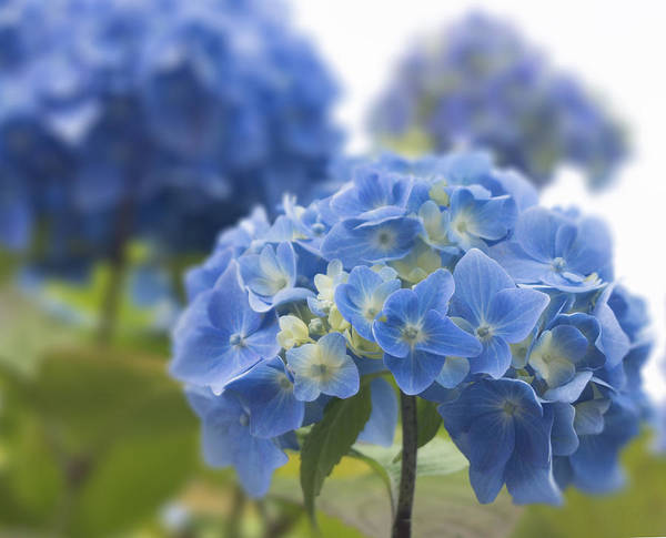 Flower Poster featuring the photograph Blue Wonder by Pam Perry
