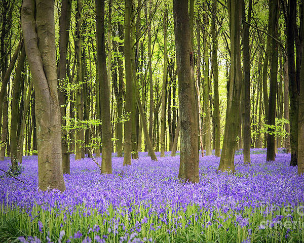 April Poster featuring the photograph Bluebell Carpet by Jane Rix