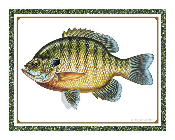 Jon Q Wright Poster featuring the painting Bluegill Print by JQ Licensing