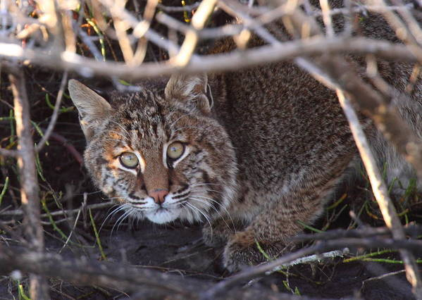 Bobcat Poster featuring the photograph Bobcat by Bruce J Robinson