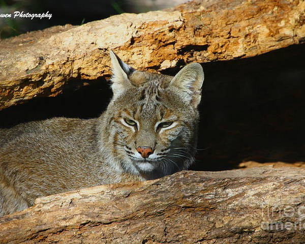 Bobcat Poster featuring the photograph Bobcat Hiding In A Log by Barbara Bowen