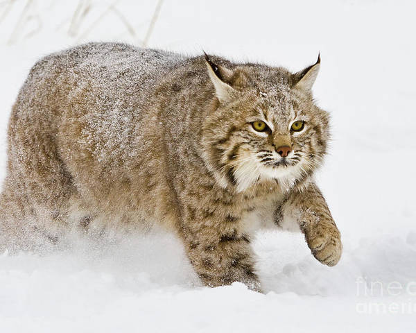 Bobcat Poster featuring the photograph Bobcat In Snow by Jerry Fornarotto