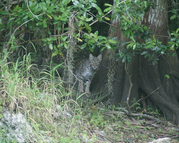 Bobcat Poster featuring the photograph Bobcat In The Everglades by Lindsey Floyd