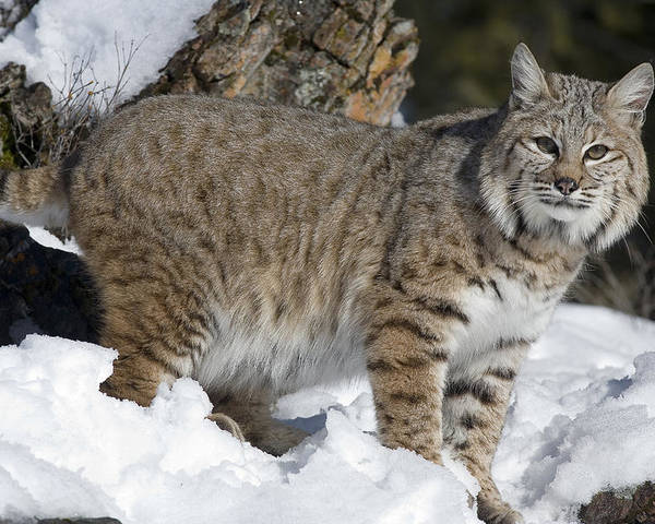Mp Poster featuring the photograph Bobcat Lynx Rufus In The Snow by Matthias Breiter