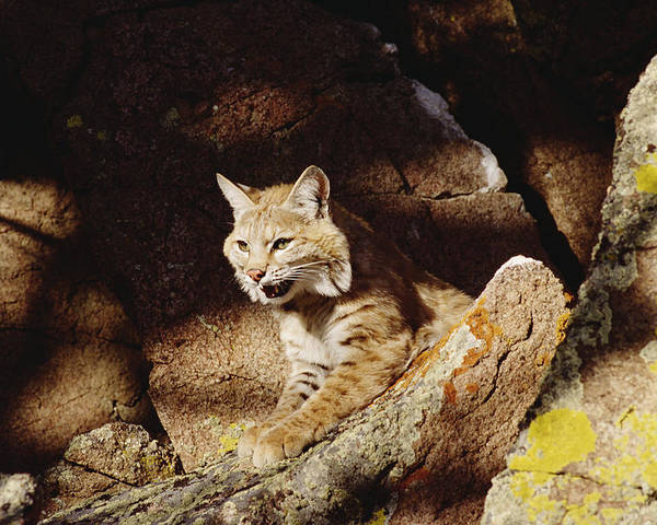 Mp Poster featuring the photograph Bobcat Lynx Rufus Portrait On Rock by Gerry Ellis