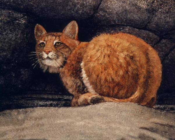 Wildlife Poster featuring the painting Bobcat On Ledge by Frank Wilson