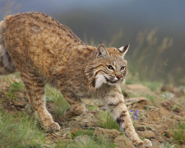 00176550 Poster featuring the photograph Bobcat Stalking North America by Tim Fitzharris