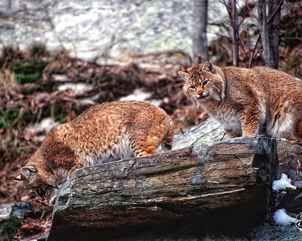 Bobcats Poster featuring the photograph Bobcats On The Loose by Brad Hoyt