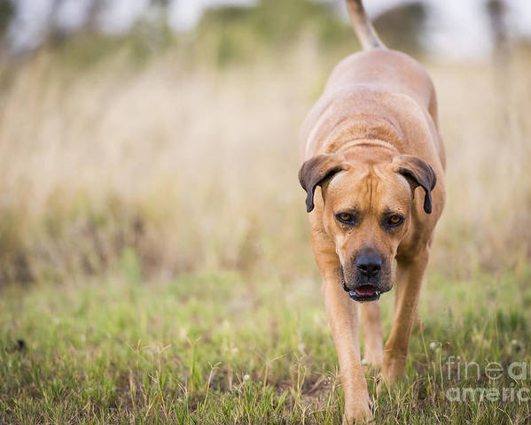 Boerboel Poster featuring the photograph Boerboel Dog by Tim Hester