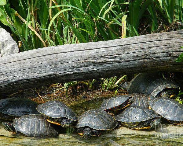Bonding Box Turtles Poster featuring the photograph Bonding Box Turtles by Emmy Vickers