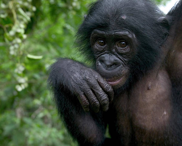 Mp Poster featuring the photograph Bonobo Pan Paniscus Juvenile Orphan by Cyril Ruoso