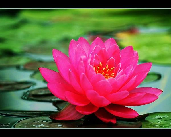 Water Lily Poster featuring the photograph Bordered Water Lily by Jim Darnall