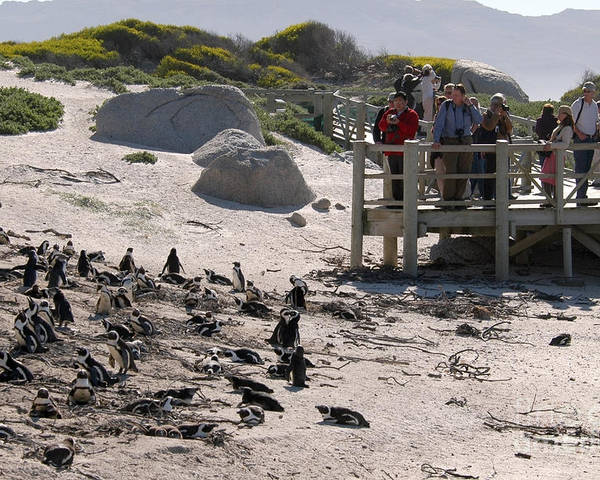 Boulders Beach Poster featuring the photograph Boulders Beach Penguins by Andy Smy