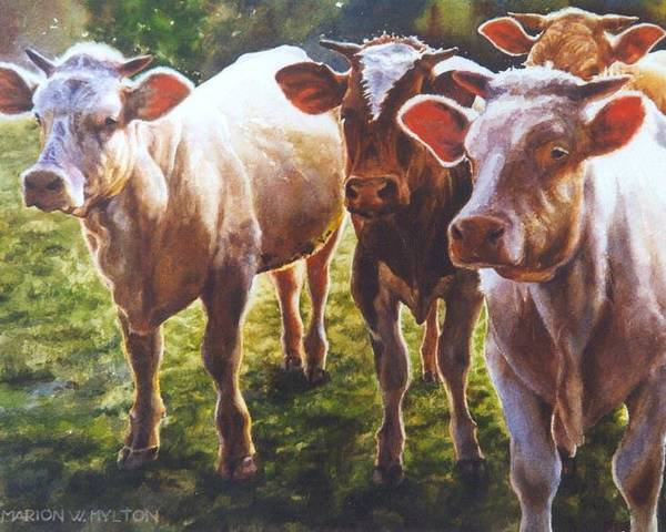 Animals Poster featuring the painting Bovine Curiosity by Marion Hylton