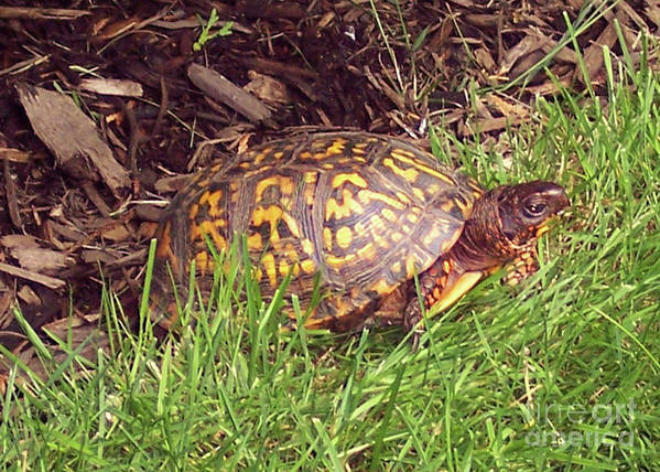 Box Turtle Poster featuring the photograph Box Turtle by CAC Graphics