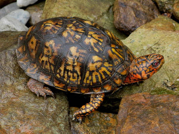 Turtle Poster featuring the photograph Box Turtle by Laura Corebello