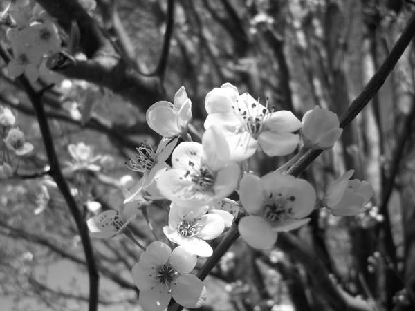 Black And White Poster featuring the photograph Bradford Pear by Dellyn Crespo