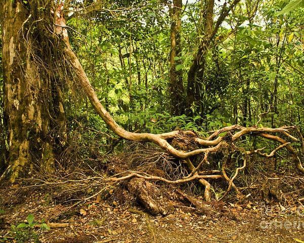 Tree Poster featuring the photograph Branching Out In Costa Rica by Madeline Ellis