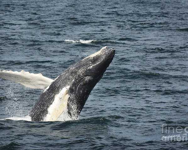 Whale Poster featuring the photograph Breaching Humpback Whale by Jim Calarese