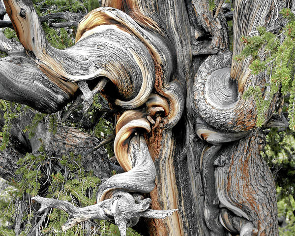 Bristlecone Pine Trees Poster featuring the photograph Bristlecone Pine - 'i Am Not Part Of History - History Is Part Of Me' by Christine Till