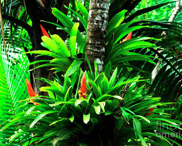 El Yunque National Forest Poster featuring the photograph Bromeliads El Yunque National Forest by Thomas R Fletcher