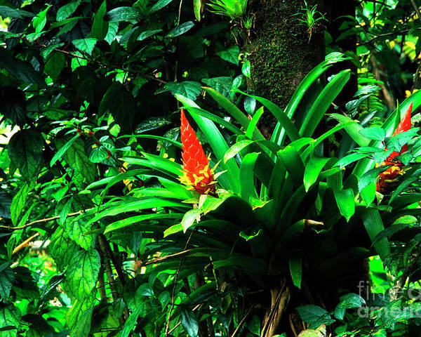 El Yunque National Forest Poster featuring the photograph Bromeliads El Yunque by Thomas R Fletcher