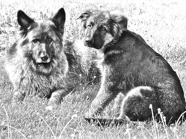 German Shepherd Dog Poster featuring the photograph Brothers Falco And Oskar by Danielle Sigmon