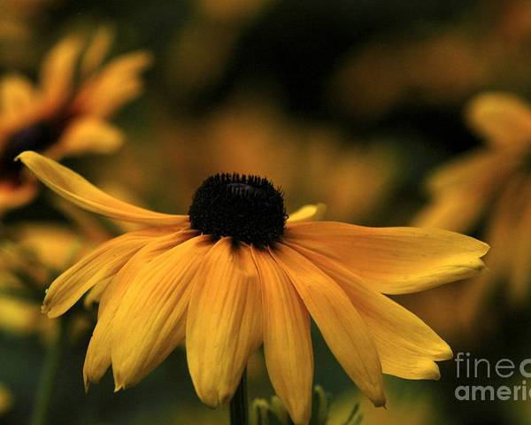 Flower Poster featuring the photograph Brown Eyed Susan by Dot Lestar