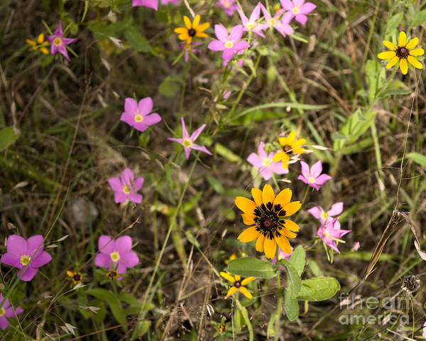 Sabatia Angularis Poster featuring the photograph Brown Eyed Susans With Rose Gentian Flowers by Jeanette Fiveash