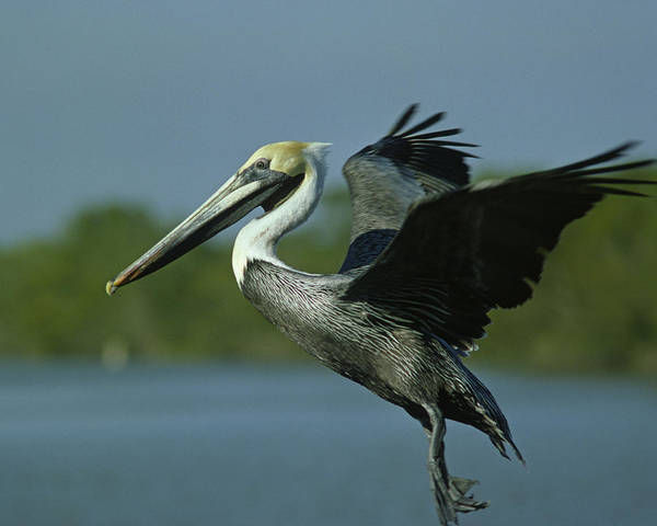 Fly Poster featuring the photograph Brown Pelican Flies Up by Mark Wallner