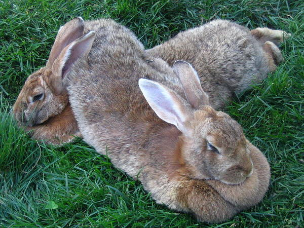 Rabbit Poster featuring the photograph Brown Rabbits by Melissa Parks