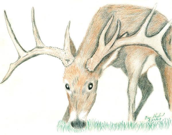Dan Shuford Poster featuring the drawing Buck Feeding by Daniel Shuford
