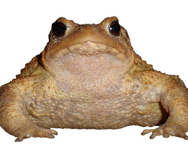 Amphibian Poster featuring the photograph Bufo Bufo European Toad Isolated by Taiche Acrylic Art