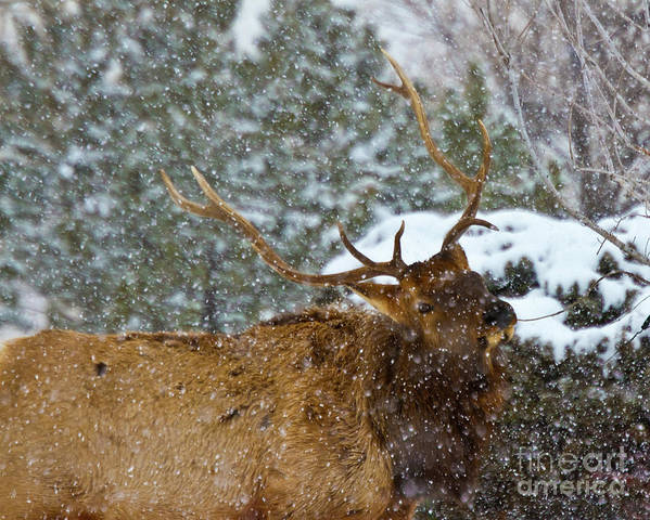 Animal Poster featuring the photograph Bull Elk Greeting by Crystal Garner