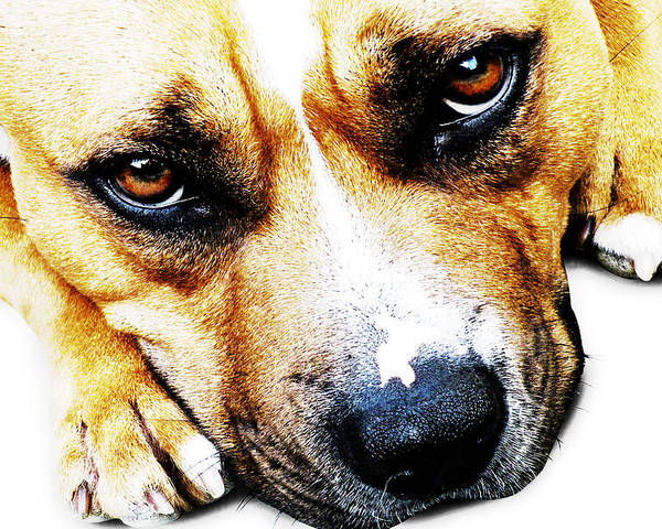 Staffordshire Bull Terrier Poster featuring the photograph Bull Terrier Eyes by Michael Tompsett