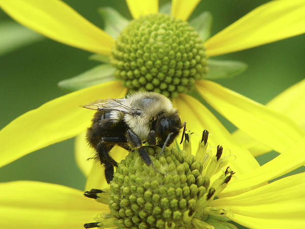 Bumblebee Poster featuring the photograph Bumblebee by Tina B Hamilton
