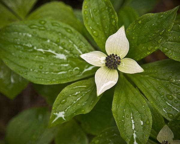 Chad Davis Poster featuring the photograph Bunchberry Cornus Canadensis by Chad Davis