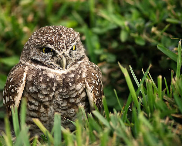 Burrowing Poster featuring the photograph Burrowing Owl by Mandy Wiltse