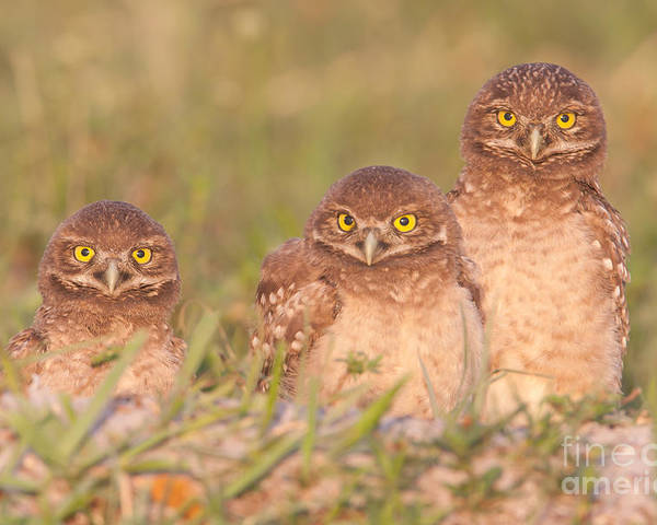 Clarence Holmes Poster featuring the photograph Burrowing Owl Siblings by Clarence Holmes