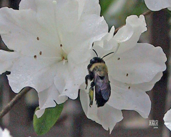 Flowers Poster featuring the photograph Busy Bee by Michele Caporaso