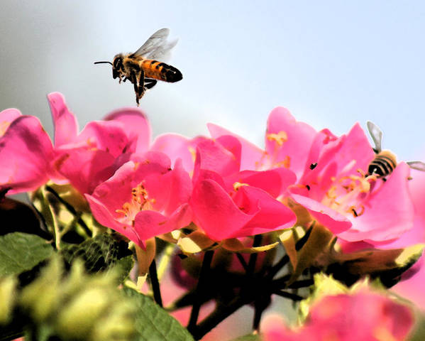 Flowers Poster featuring the photograph Busy Bees by Nanette Hert