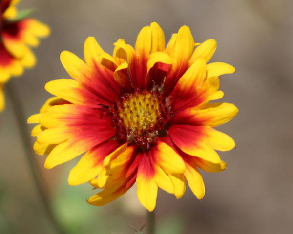 Butter Yellow Poster featuring the photograph Butter Yellow And Crimson Red Coneflower by Colleen Cornelius