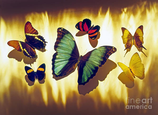 Animals Poster featuring the photograph Butterflies by Tony Cordoza