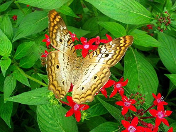 Butterfly Poster featuring the photograph Butterfly And Red Star Sprig by Caroline Urbania Naeem