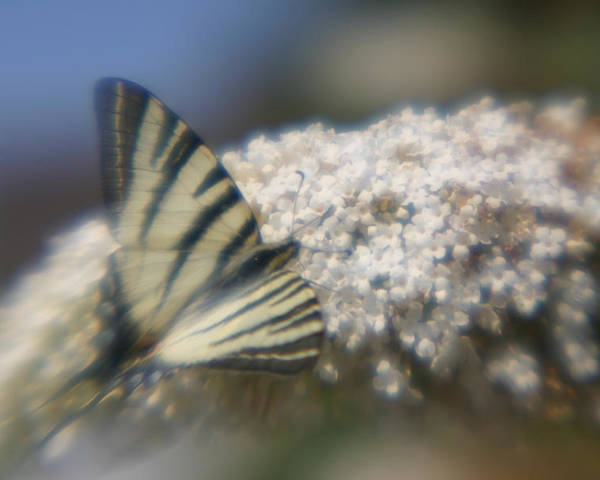 Butterfly Poster featuring the photograph Butterfly Dream by Jennifer McDuffie